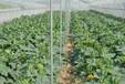 提高大棚西紅柿產量的施肥管理