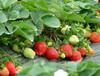 大棚草莓植株不旺的施肥建議