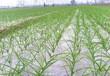 大蒜增產越冬施肥建議這樣做
