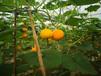 胖仔農莊有機蔬菜——南瓜