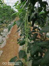胖仔農莊有機蔬菜——長豆角圖片