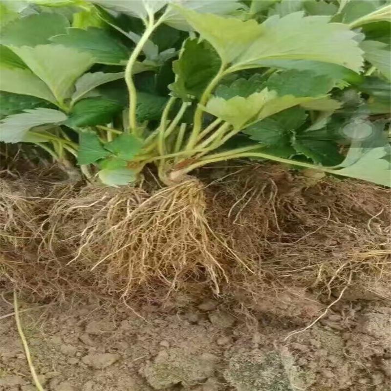 香椿苗基地批发1年2米香椿苗成活率高-搜了网