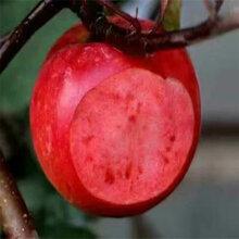 南岸黄金帅苹果苗多少钱图片