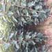 運城柿子苗生產基地