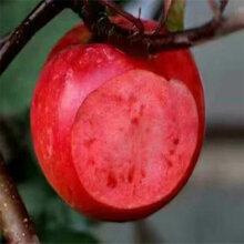 重慶柱狀蘋果苗、柱狀蘋果苗嫁接技術圖片