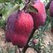 北京瑞雪蘋果苗、瑞雪蘋果苗地區產量