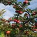 四川烟富8苹果苗、烟富8苹果苗种类分化