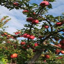 四川煙富8蘋果苗、煙富8蘋果苗種類分化圖片