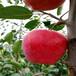 山東煙富8蘋果苗、煙富8蘋果苗發源地