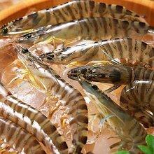 上海进口水产品清关代理公司孟加拉黑虎虾进口清关水产品进口通关