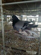 合作养殖种鸽,可来我公司亲自挑选,量大从优