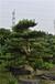 成都羅漢松造型樹價格是多少,基地報價2000元