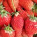內蒙古隋珠草莓苗多少錢一棵