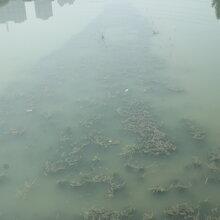 广东微生物河道水体净化EM菌厂家销售图片