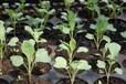 寧夏土地鹽漬化生態修復微生物改良劑