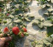 脱毒品种草莓苗专业种植基地