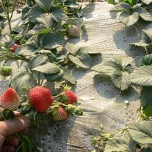 早熟法兰地草莓苗品种纯正图片