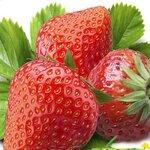 脱毒品种草莓苗批发价格