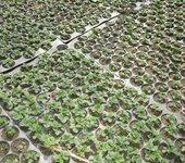 脱毒品种草莓苗亩产量多少