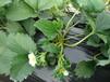 盆栽寧玉草莓苗現挖現賣