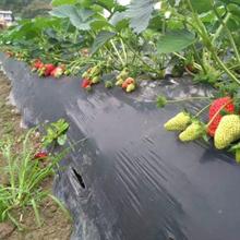 大棚甜宝草莓苗原产地图片