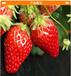 供應優質咖啡草莓苗品種純正