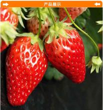如何选购优质品种草莓苗怎么种植图片