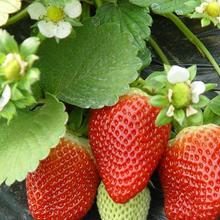 盆栽白草莓苗三叶一芯图片