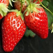 最抗病的达赛草莓苗行情图片
