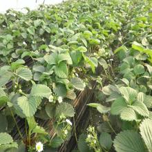 大棚太空草莓苗专业种植基地图片