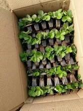 乾润农业红颜草莓苗价格查询图片