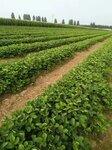 脱毒品种草莓苗基地直供成活率高