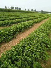 抗病毒的全明星草莓苗效益高图片