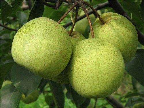 推荐:仙桃秋月梨品质有保证