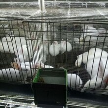 贵阳散养杂交野兔养殖甘肃可以养殖肉兔