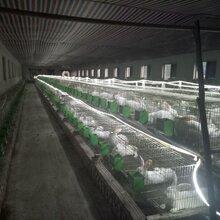 贵州散养杂交野兔养殖纯公羊兔一只多少钱