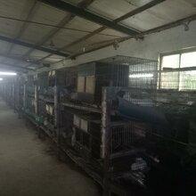 贵州散养杂交野兔养殖比利时母兔种兔的利润