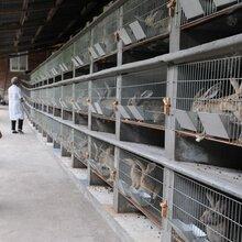 贵阳散养杂交野兔养殖母兔一只需要多少成本