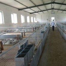 贵州散养杂交野兔养殖母兔一只需要多少成本