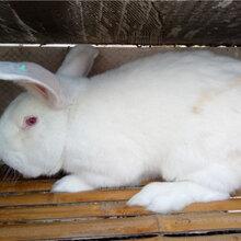贵阳散养杂交野兔养殖养殖种兔利润