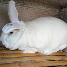 贵州散养杂交野兔养殖养殖种兔利润