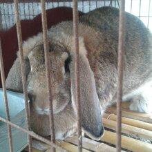 贵阳散养杂交野兔养殖纯公羊兔一只多少钱