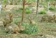 南平肉兔种兔贵阳散养杂交野兔价格