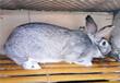 永春县獭兔种兔比利时野兔种兔价格