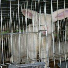 贵阳散养杂交野兔养殖想买好种兔