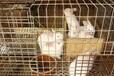 泉州伊拉肉兔獭兔种兔多少钱一只