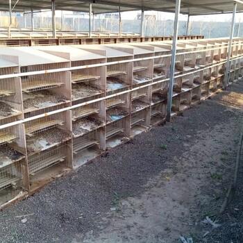宁津县肉兔种兔ag系列产品|官方场