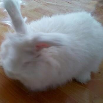 冷水江獭兔种兔哪里有卖