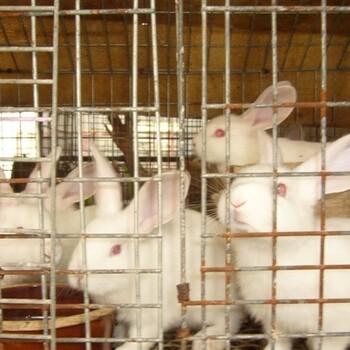 广河县獭兔种兔多少钱一只