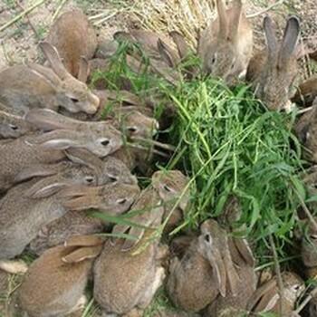 卢龙县杂交野兔厂家